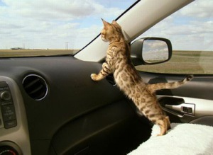 cat_in_car_looking_out_the_front
