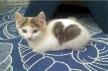 love-cat-cute-kitten-with-heart-pattern-fur