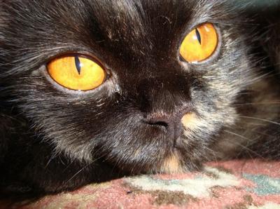 42e0a4b680d Anatomia do gato  olhos